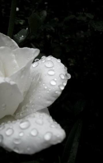 rain-flowers